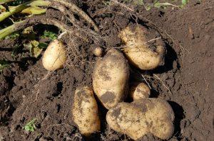 La etapa de la patata